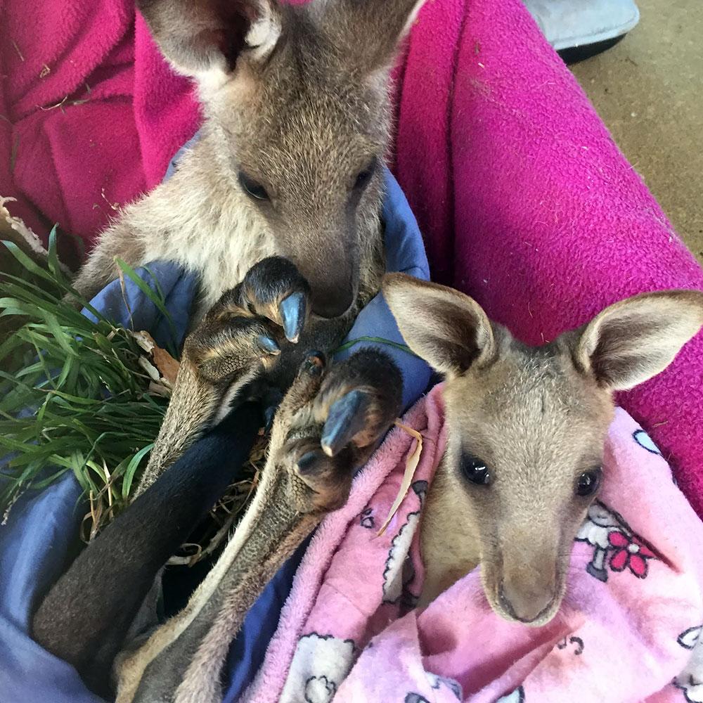 Joeys in a pouch
