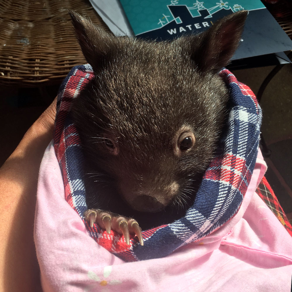 Wombat in a pouch
