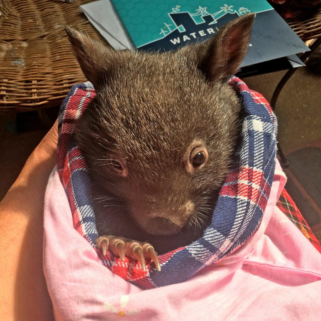Waterline wombat